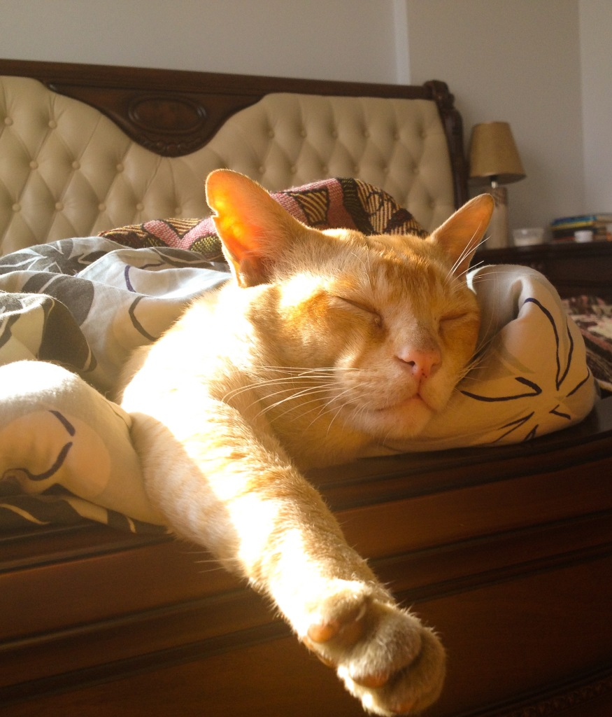 a burma cat lying on the bed